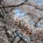 EOS Kiss X4を買いました & 麻生川沿いの桜並木